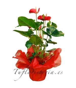 Planta Anthurium Rojo