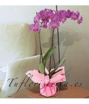 Orquidea Phaleanopsis Rosa