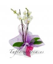 Orquidea Phaleanopsis Blanca
